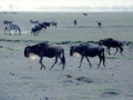 Gnus Ngorongoro Krater