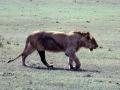 Löwe Ngorongoro Krater