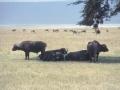Büffel Ngorongoro Krater