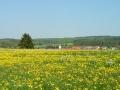 Frühlingsblumen im Lautertal