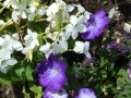 Blumenbeet Belvedere